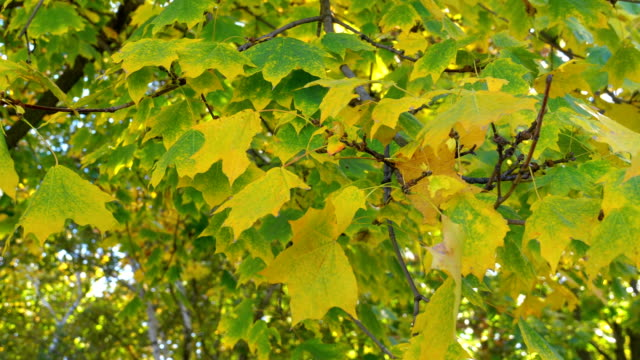 Autumn-Yellow-Leaves-on-the-Branches-of-Trees-in-the-Park