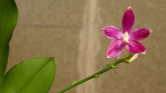 Beautiful-rare-orchid-in-pot-on-white-background