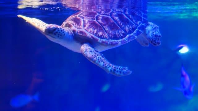 Green-turtle-swims-in-water-tank