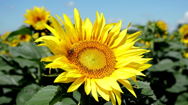 Yellow-sunflower-with-the-bee-closeup