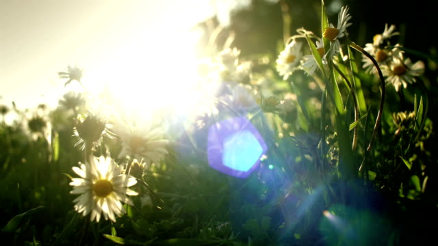Ethereal-sunlight-on-scented-daisy-flowers-field