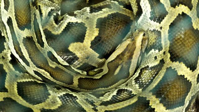 Python-birmano-para-dormir