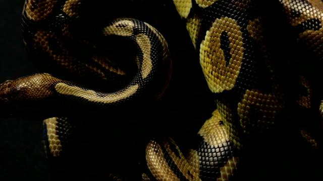 Patrón-de-reptación-serpiente-de-pitón