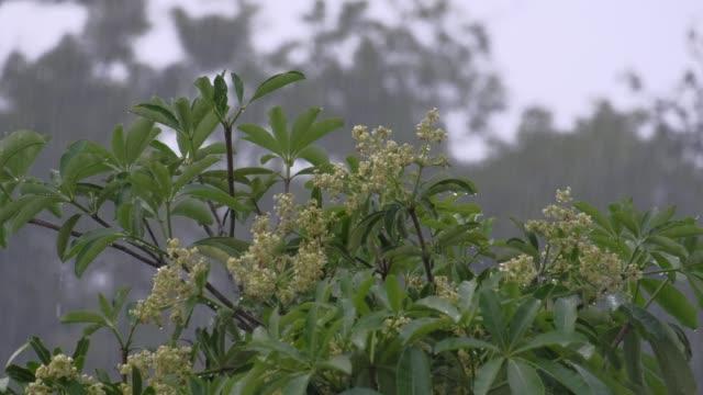 Llover-y-pizarra-árbol-del-diablo-Alstonia-scholaris-flor-su-sensación-de-soledad