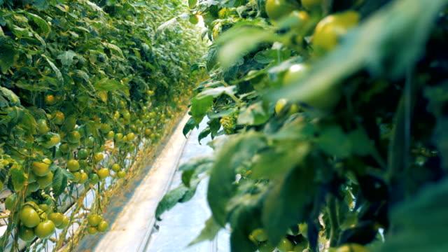 Greenhouse-with-plenty-of-green-tomato-bushes