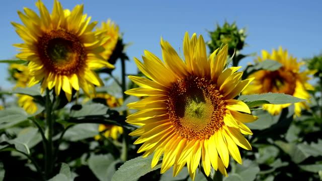 Yellow-sunflowers-closeup