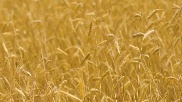 Slow-motion-wheat-field-wind-moving-crops-yellow-ears-in-autumn-fall-fertility