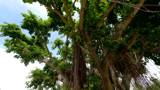 Large-banyan-tree-in-Hawaii-in-slow-motion-180fps