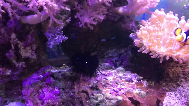 Marine-aquarium-full-of-tropical-fishes-and-plants-Echinoidea