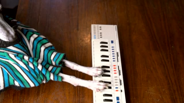slow-motion-of-italian-greyhound-dog-in-striped-shirt-playing-keyboard-piano