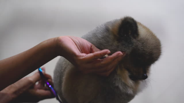 Groomer-cutting-hair-of-small-dog-at-a-salon-in-the-beauty-salon-for-dogs