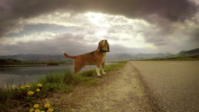 4K-moving-camera-footage-of-a-beagle-during-the-walk
