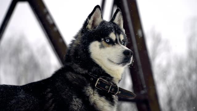 Husky-jugando-en-la-nieve