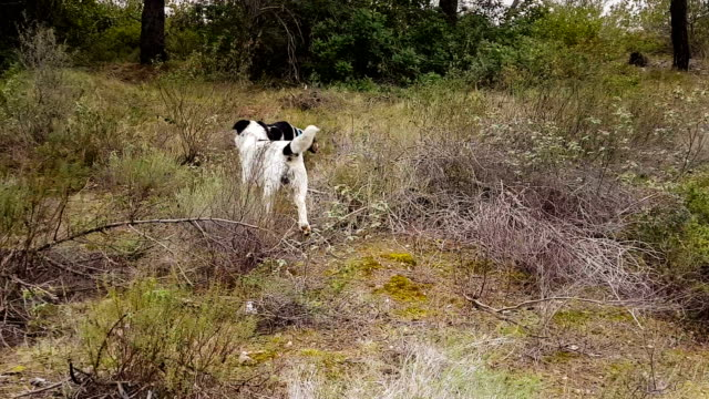 Going-hunting-with-two-hunt-dogs-in-the-countryside-