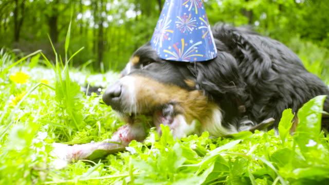 A-dog-in-festive-cap-eating-a-bone