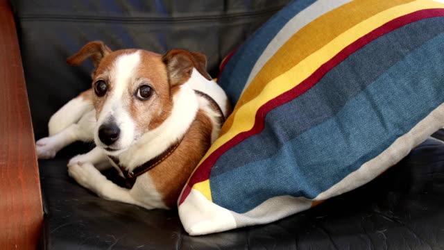 Hund-Jack-Russell-Terrier-liegend-auf-dem-Sessel