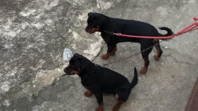 Perros-ROTTWEILLER-encadenados-a-la-pared-que-desean-atención-y-escapar-de-la-domesticación