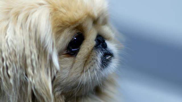 shih-tzu-dog-waiting-for-haircut