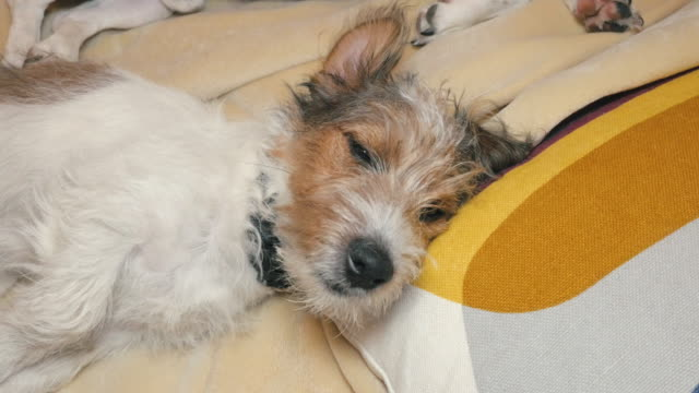 Cachorro-de-Jack-Russell-Terrier-pelo-de-alambre-busca-la-cámara-y-se-queda-dormido