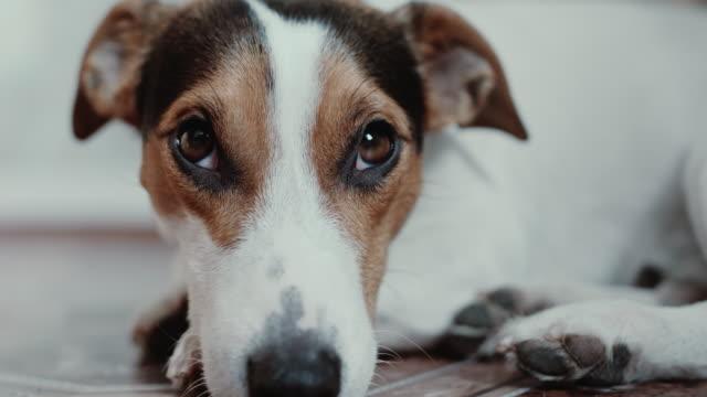Jack-Russell-Terrier-pone-sobrepuestos-en-su-lugar