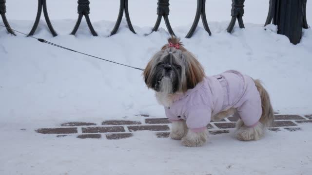 Perro-es-a-pie-Shih-Tzu-es-traje-rosado-en-el-parque-de-invierno-