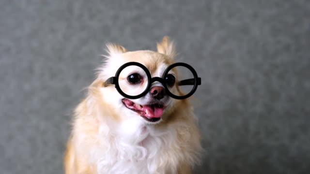 clevere-Chihuahua-braun-Hund-tragen-Runde-schwarze-Brille-mit-grauem-Leder-Hintergrund-4k-format