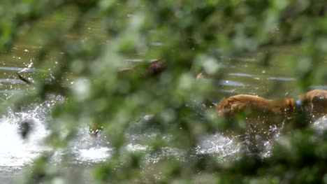 Dogs-playing-in-the-water-in-4k-slow-motion-60fps