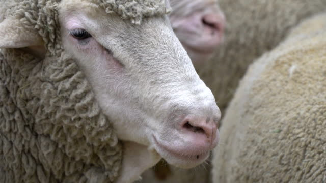 the-RAM-chews-posing-and-meditating-closeup