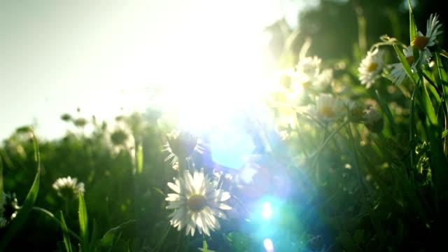 Dreamlike-light-and-daisy-flowers-as-in-a-peaceful-dream