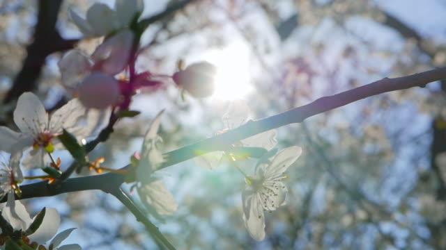 Sakura-on-heavy-wind