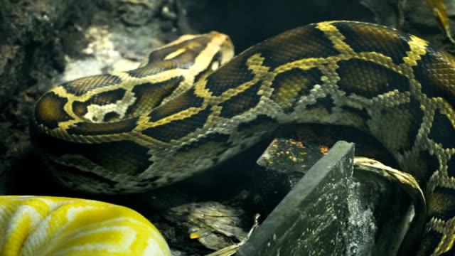 Python-birmano-en-movimiento