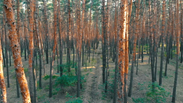 Slow-Flight-Inside-Pine-Tree-Forest-Aerial-view-with-drone