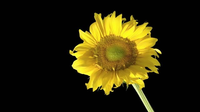 Large-yellow-flower-of-a-sunflower-on-isolated-background-dark-screen