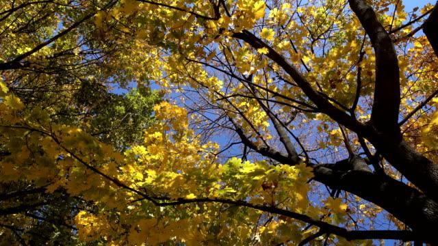 hojas-de-árboles-de-arce-con-la-caída-de-rotación-vista-de-ángulo-alto