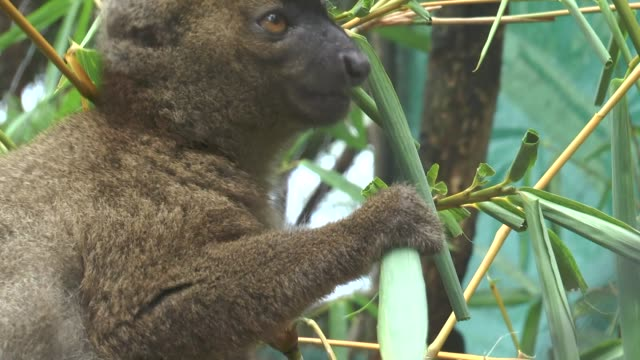 Lemur-sits-on-a-branch-and-eats-the-leaves-of-a-tree-