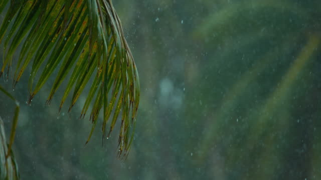 SLOW-MOTION:-Drops-of-water-fall-on-the-green-palm-tree-leaves-during-monsoon-