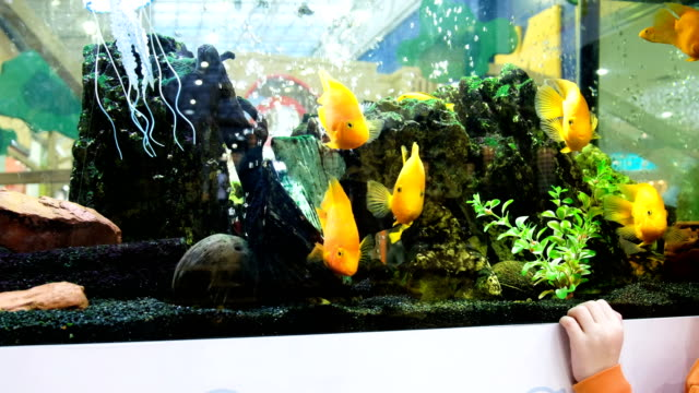 The-child-is-looking-at-the-yellow-fish-in-the-aquarium-in-the-store-4k-