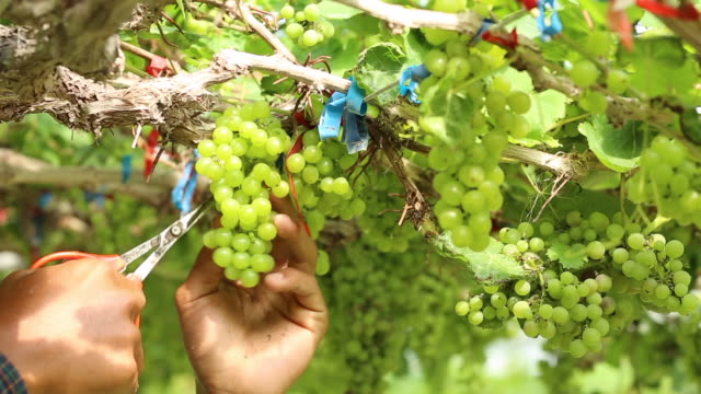 Close-up-hand-of-worker-picking-grapes-during-wine-harvest-in-vineyard-Select-cutting-Non-standard-grapes-from-branch-by-Scissors-