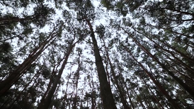 Looking-up-in-forest-POV-through-tops-of-trees-sun-shines-through-foliage