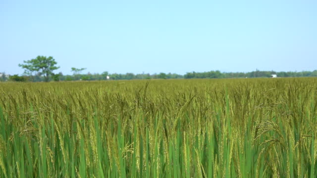 SLOW-MOTION-CLOSE-UP:-Large-field-of-rice-rustling-in-the-gentle-summer-breeze-