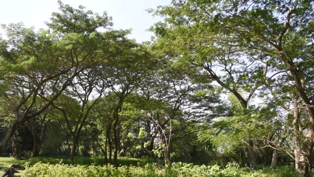 Wind-shaking-the-Wild-mimosa-tree-at-tropical-forest-in-Thailand