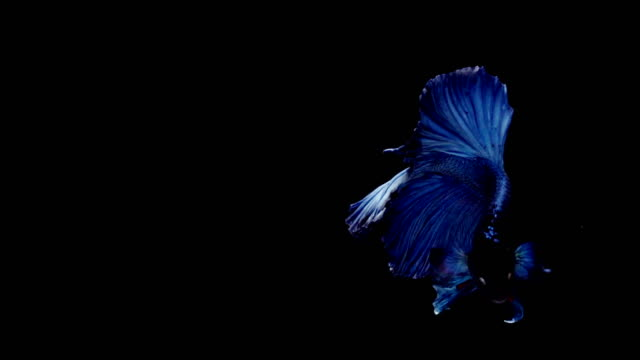 Super-slow-motion-of-vibrant-Siamese-fighting-fish-(Betta-splendens)-well-known-name-is-Plakat-Thai
