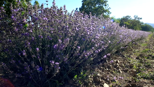 Walking-in-a-lavender-field-on-a-sunny-day