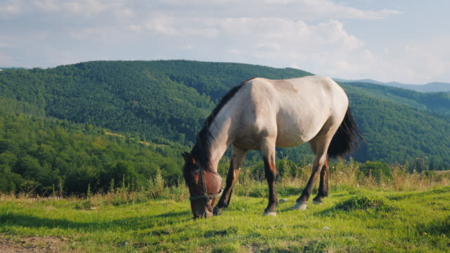 Several-horses-graze-in-a-picturesque-valley-against-the-backdrop-of-the-mountains-Green-tourism-concept