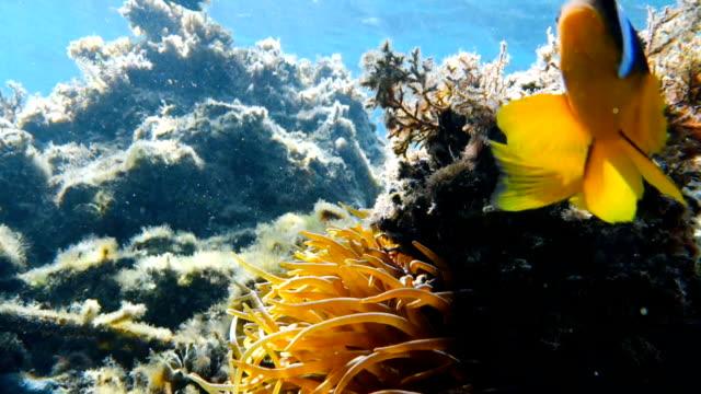 Clownfische-Leben-in-ihre-Seeanemone