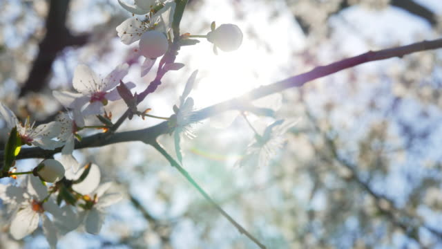 Close-up-shot-of-sakura-tree-blossom