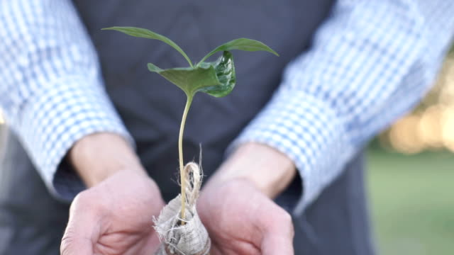 Hands-of-man-farmer-showing-and-caring-a-young-coffee-tree-in-hands-for-planting