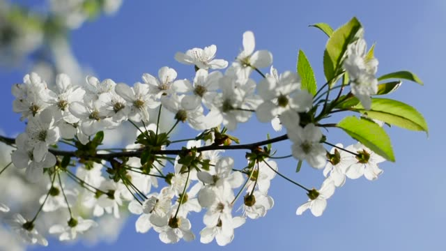 Blühender-Zweig-der-Kirsche-mit-Blendenfleck-ist-schwankend-auf-blauen-Himmelshintergrund