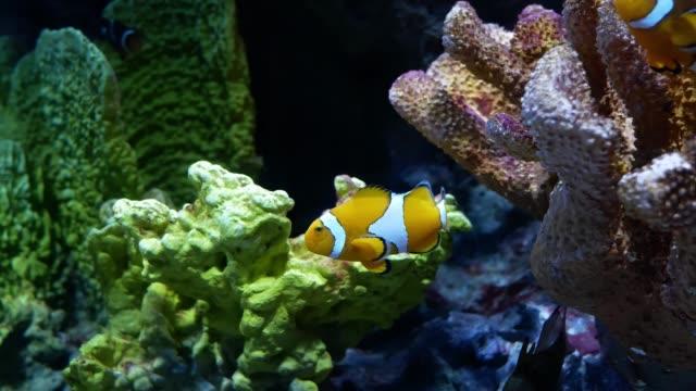 Clown-Anemonefish-in-the-aquarium-on-decoration-of-aquatic-plants-background-