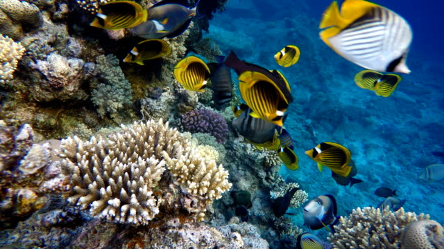 The-ocean-and-the-corals-Colorful-tropical-fish-